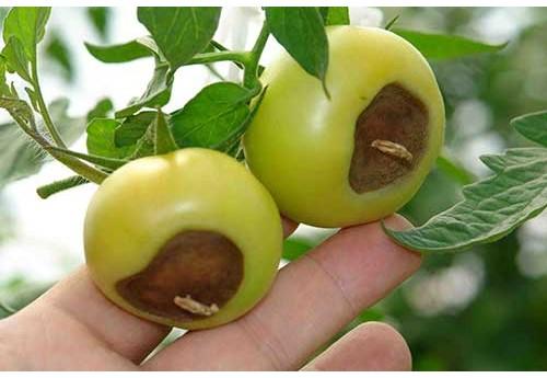 Чернеют помидоры в теплице