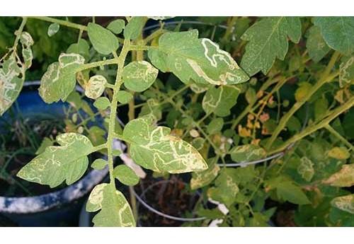 Пятна на листьях помидор в теплице