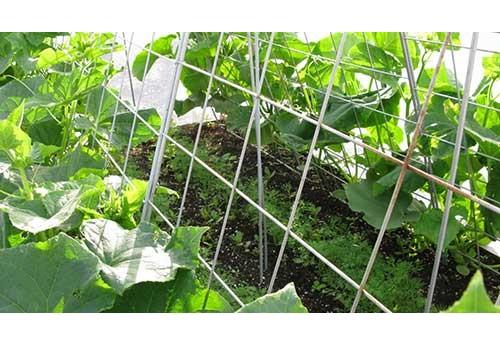 Метод копчения огурцов при выращивании