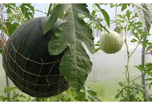 Сорта тепличных арбузов