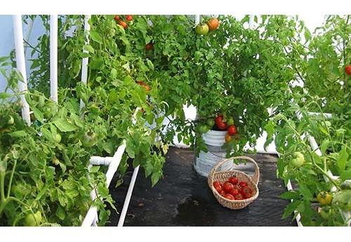 Сорт помидор для теплиц