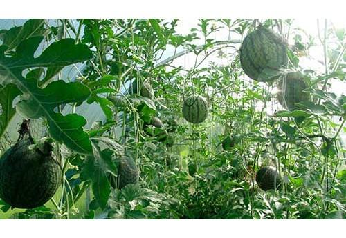 Выращивание бахчевых в теплице