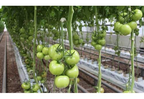 Выращивание помидор в теплице
