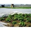 Агроволокно под картофель (3)