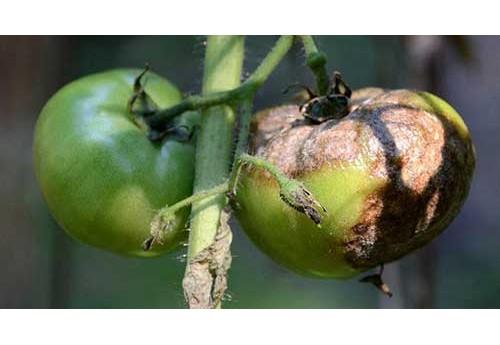Как бороться с фитофторой при выращивании культур
