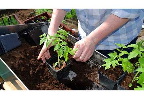 Как садить рассаду