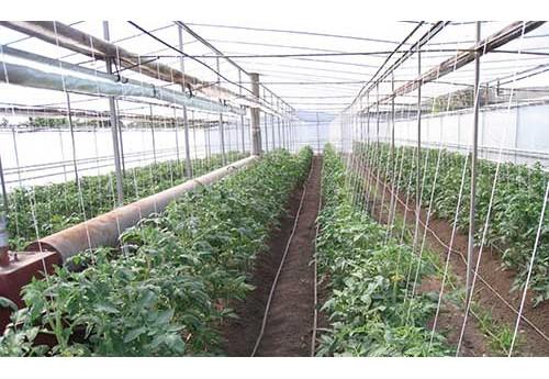 Как в теплице подвязать помидоры