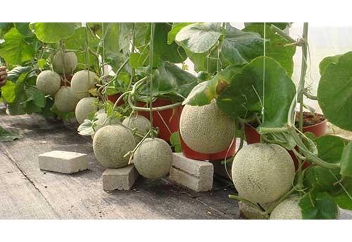 Как вырастить дыни в теплице у себя во дворе