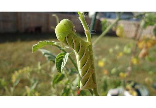 Насекомые-вредители помидоров