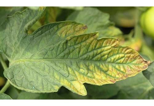 Недостаток полезных веществ и минералов при выращивании