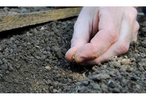 Особенности посадки редиса под зиму