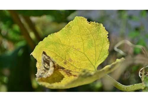 Почему листья огурцов в теплице высыхают и желтеют