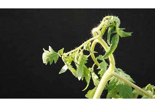 Почему в садовой теплице у томатов скручиваются листья