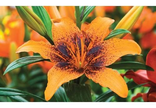 Чем удобрять лилии для их активного роста