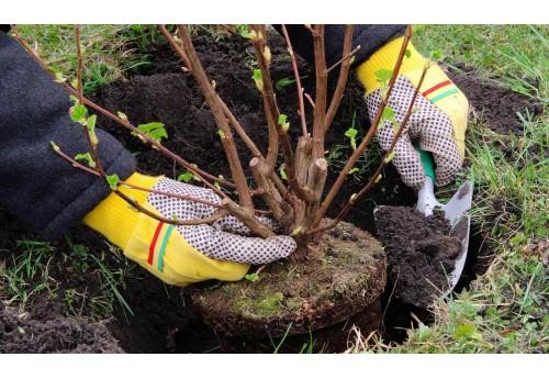 Какие деревья и кустарники лучше сажать осенью