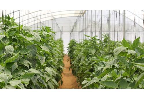 Главные секреты тепличного выращивания перца