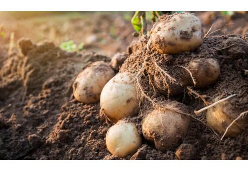 Характеристика картофеля сорта Зекура