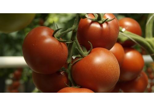 Характеристика лучших сортов томатов в Украине