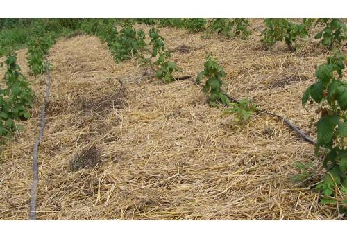 Характеристика посадки малины осенью