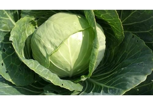 Как получить хороший урожай белокочанной капусты