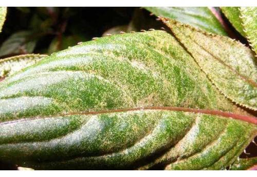 Известные болезни и вредители бальзамина
