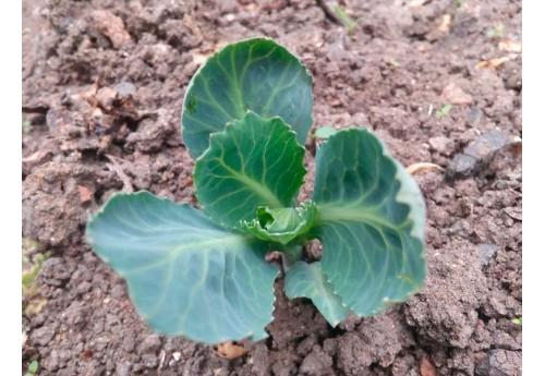 Как поливать капусту для получения хорошего и качественного урожая