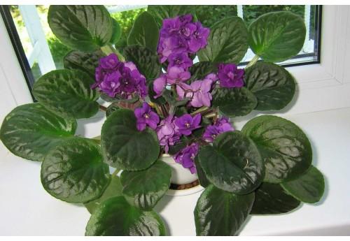 Как правильно поливать фиалки для длительного цветения