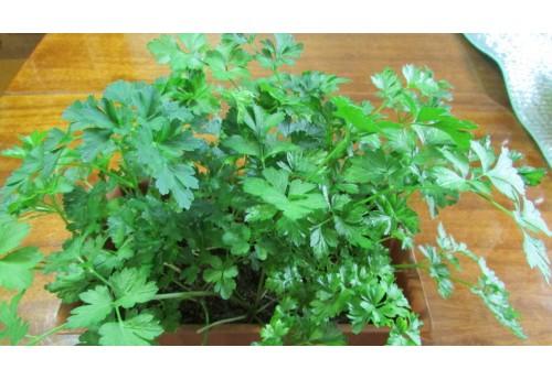Как выращивать кудрявую петрушку и корневые сорта