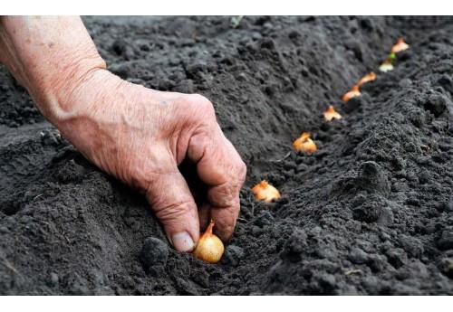 Как выращивать лук правильно