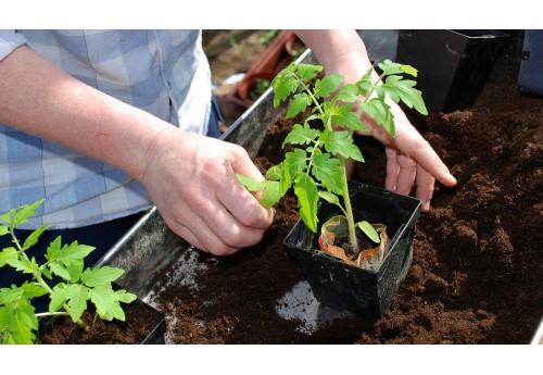 Когда пересаживать рассаду томатов в теплицу