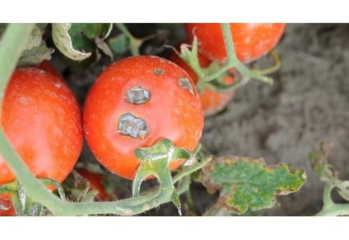 Существующие народные средства для обработки помидоров