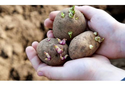 Обработка картофеля перед посадкой на участке