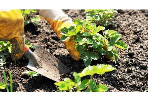 Особенности осенней посадки клубники