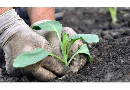 Особенности посадки капусты на открытом грунте