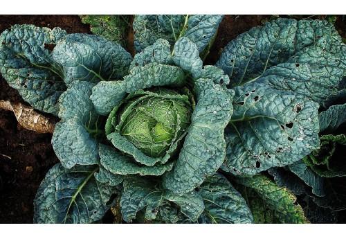 Особенности выращивания различных видов капусты