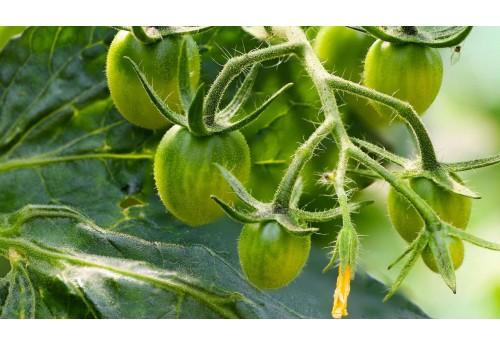 Характеристика подкормки помидор дрожжами в теплице
