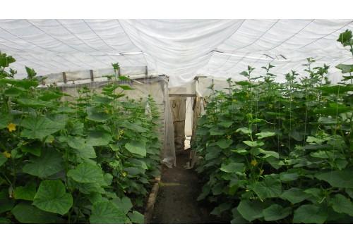 Полная технология выращивания огурцов в теплице