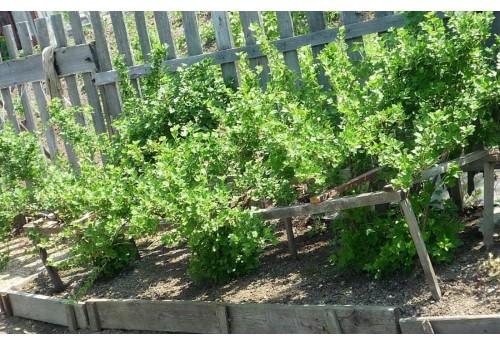Посадка красной и черной смородины в саду
