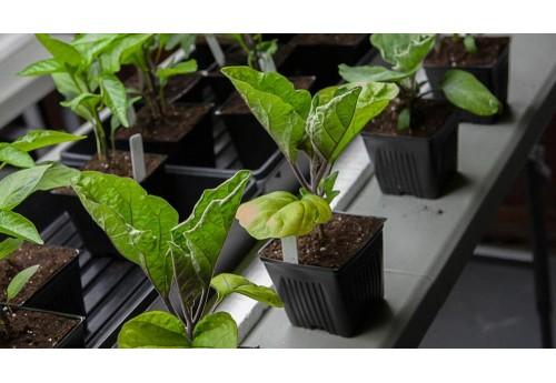 Посев баклажан в феврале