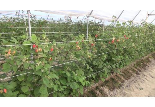 Правила и особенности выращивания малины