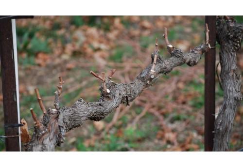 Правила обрезки винограда весной