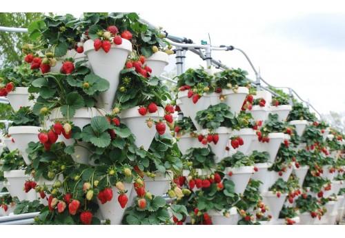 Правила выращивания клубники зимой