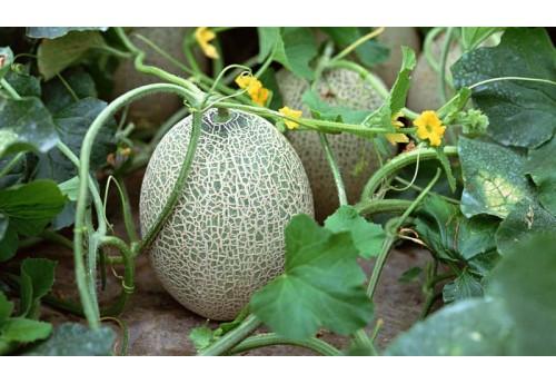 Правильное выращивание дыни в теплице из поликарбоната