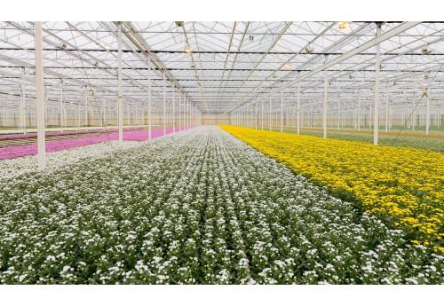 Правильное выращивание хризантемы в теплице