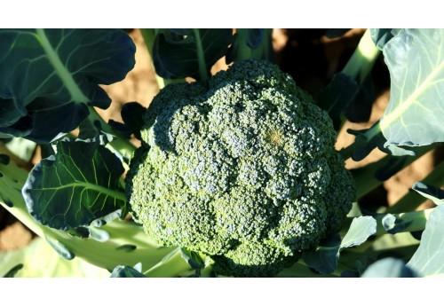 Правильное выращивание капусты брокколи