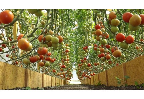 Правильные условия для томатов в теплице