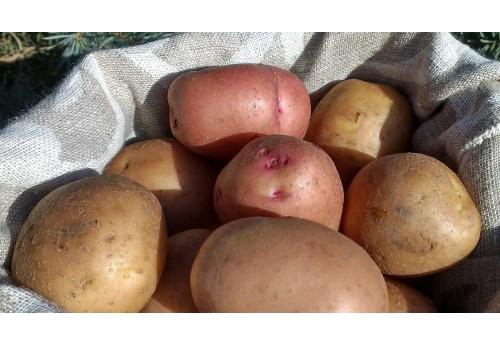 Принципиальные особенности картофеля сорта Санте