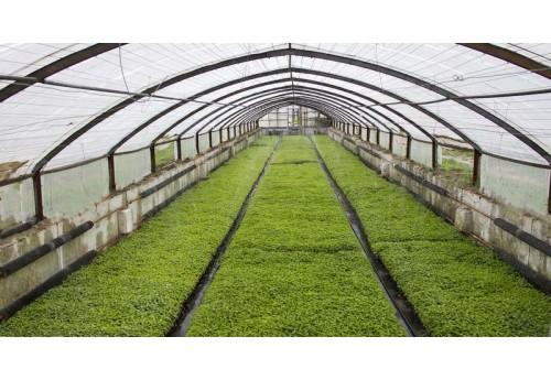 Простое выращивание капусты в пленочной теплице