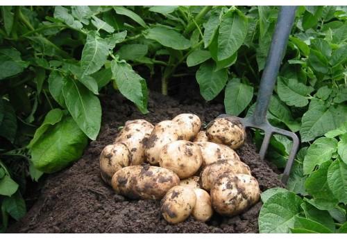 Разведение картофеля сорта Саротоп
