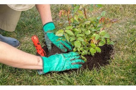 Как правильно и эффективно сажать розы осенью